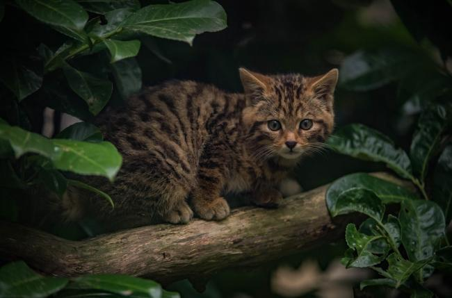 The Scottish wildcat is at risk of extinction.