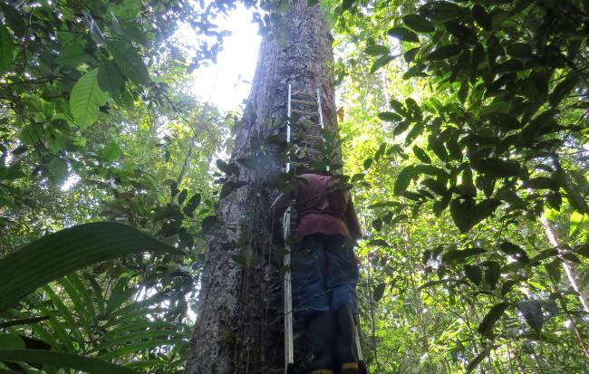 A researcher measuring a large tree in the central Amazon, Brazil. , as a study has found that the Earth's largest rainforest is failing to keep up wit
