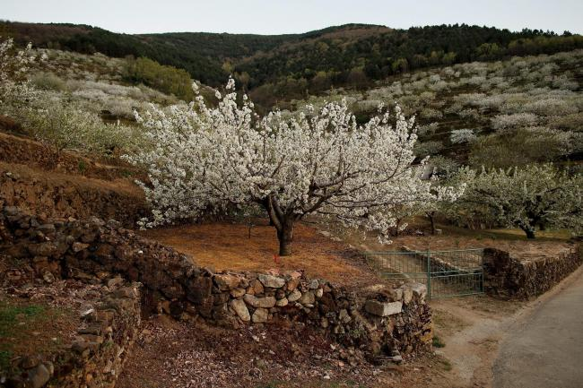 A field of cherry trees in full bloom in the Jerte Valley, near Plasencia, in Extremadura, Spain