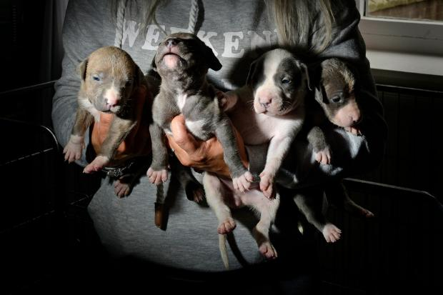 The litter of eight threeweek-old bulldog cross puppies are believed to be worth £1,000 each. Pictures: Colin Mearns.