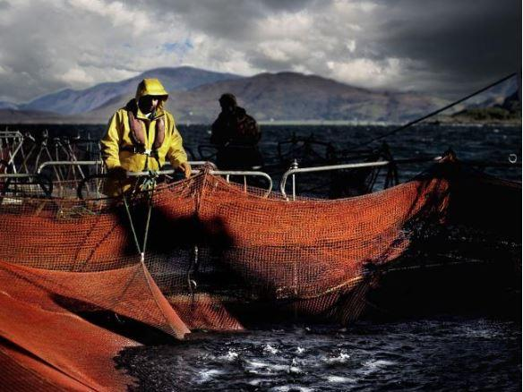 Salmon is Scotland's biggest single food export and is worth £600 million to the economy.