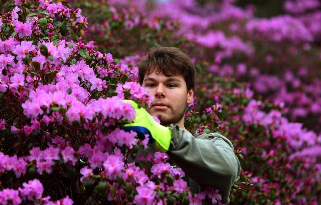 Horticulturalist Callum Carson with some colour at the Royal Botanic Gardens in Edinburgh tuesday..Pic Gordon Terris/The Herald.19/2/19.