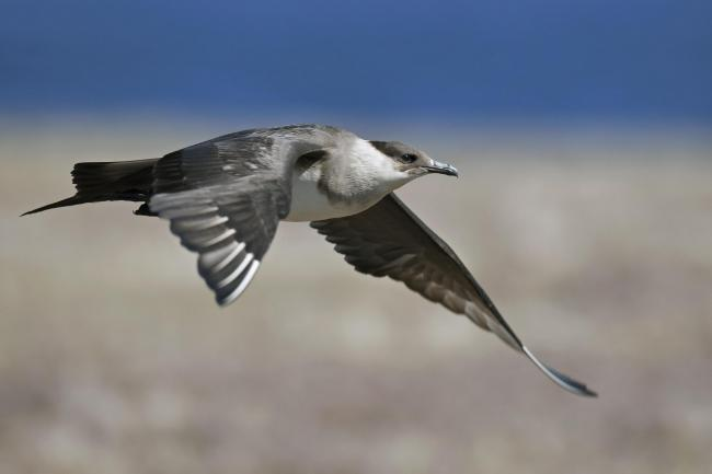 Arctic skua numbers are suffering and they are among 12 seabird species in decline.