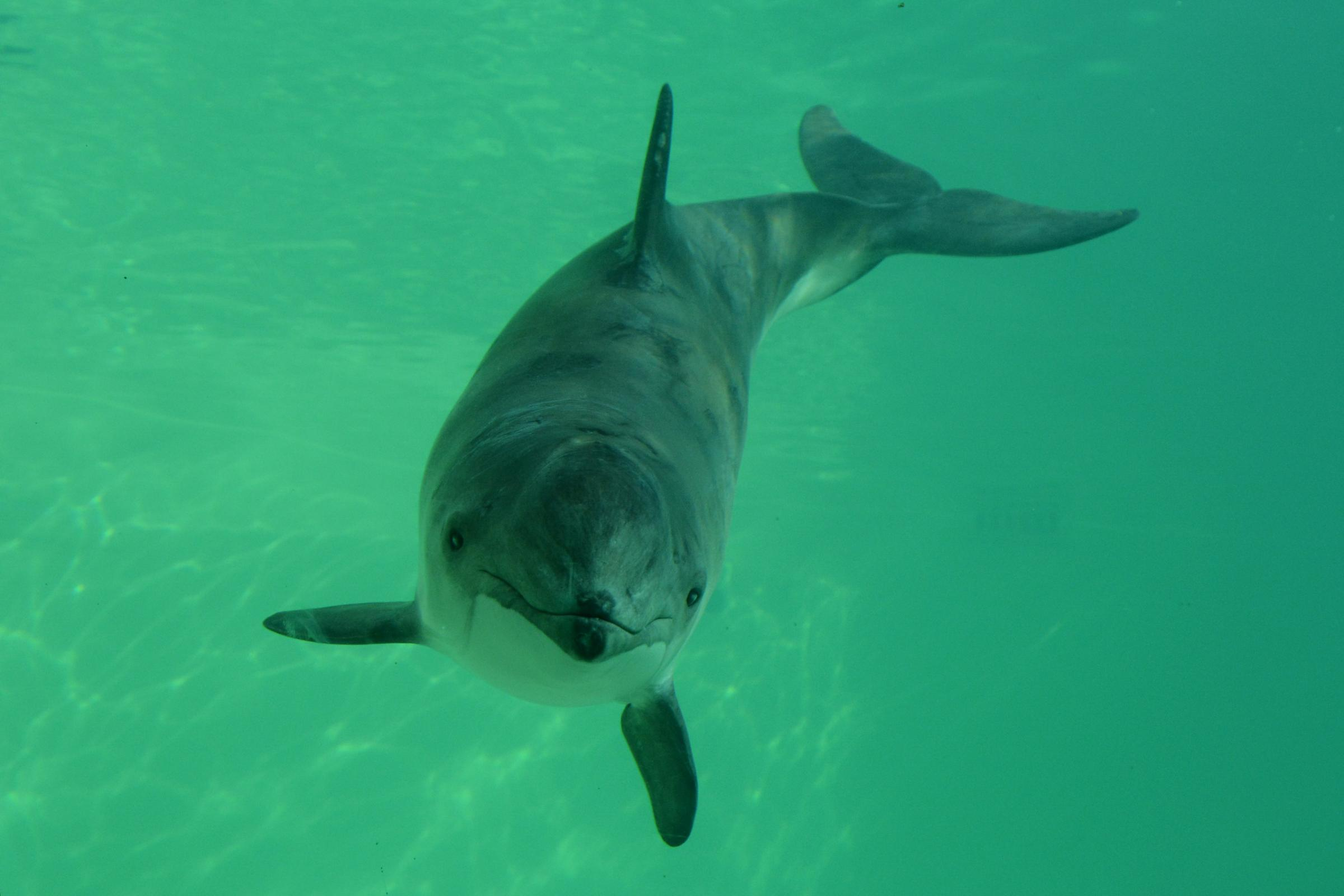 Porpoises 'killed by canine bacteria'