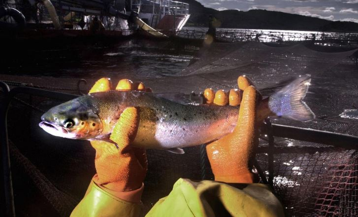 Scottish Government is urged to ban 'painful' salmon delicing tech