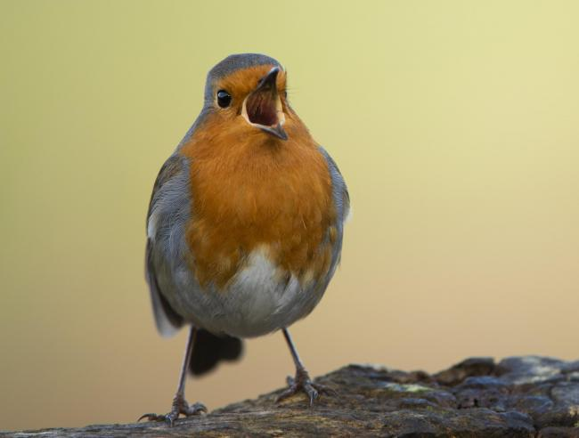 Little birds to tell Scots to save threatened wildlife and environment