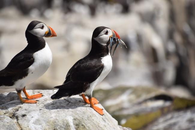Lindsey Wilkinson - puffins at the farne island yesterday Camera Club Submitted 24/10/19