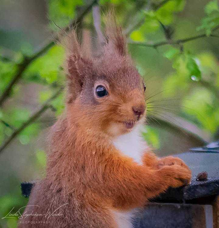 Red squirrels staging fight back
