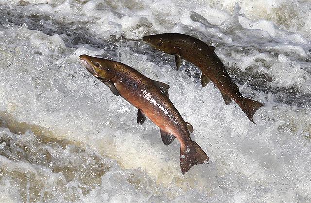 Over 70,000 salmon escape from Scottish fish farm