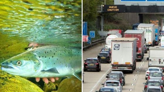 Food safety warning issued after salmon disappears following lorry crash