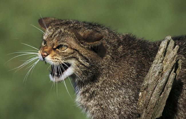 Reintroduction centre plan for endangered Scottish wildcats