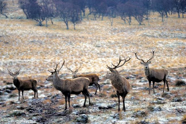 Overgrazing of red deer is a matter of concern for many