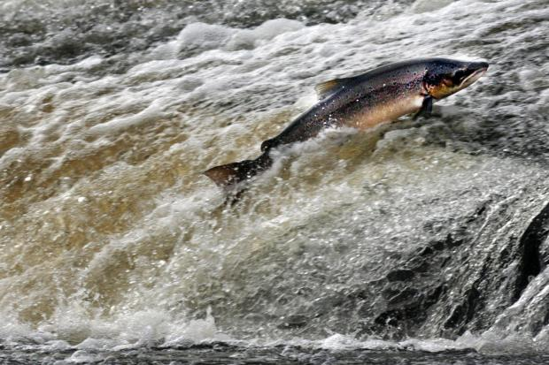 Atlantic Salmon try to make their way up stream by jumping the Could on the Ettrick river near Selkirk in the Scottish Borders..