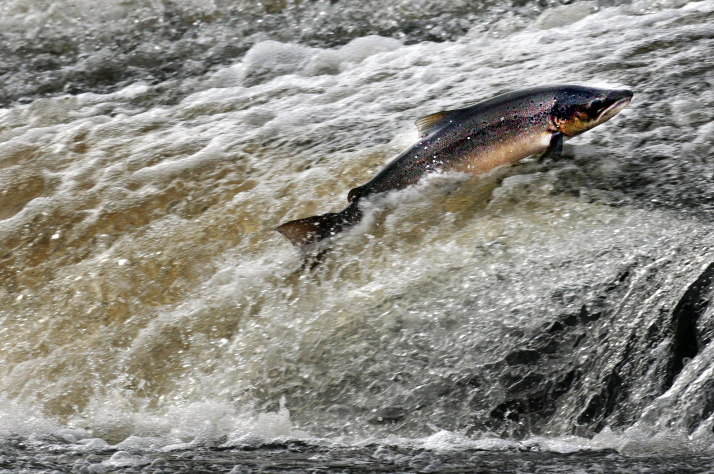Scotland's salmon crisis: why our own rivers could be killing the king of fish