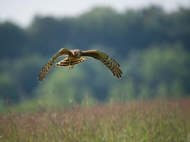 Two hen harriers have disappeared in the Cairngorms National Park (PC: Pixabay)
