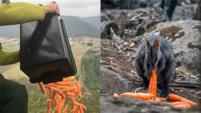 Vegetables dropped from the sky in Australia for fire-affected wallabies