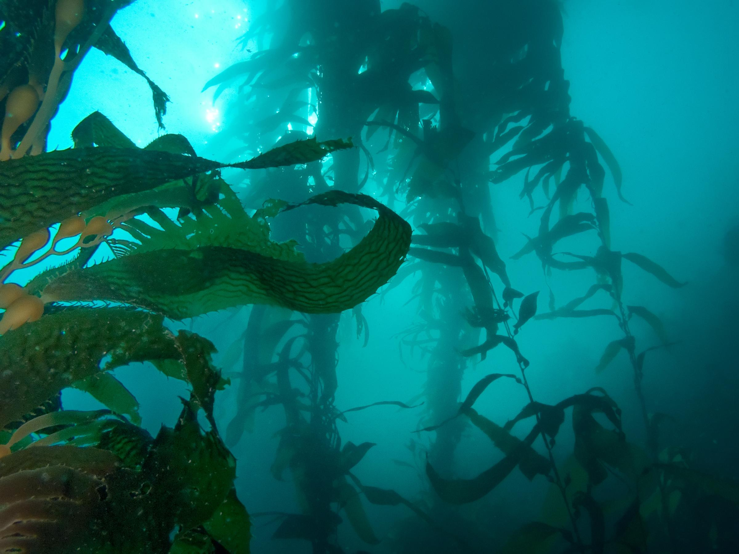 A cry for kelp. Why Scotland's green future could be blue