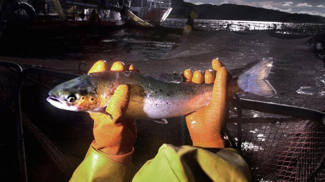 Fears raised over Brexit impact on Scottish salmon