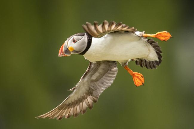 The puffin is among Scotland's most popular seabird species.
