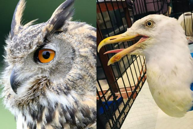 A Eurasian Eagle Owl and Buster the injured herring gull were stolen from the centre in Brora, police believe
