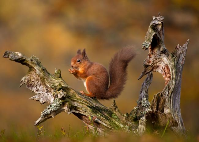 Signs of stabilisation come after decades of decline for Scotland's red squirrels.