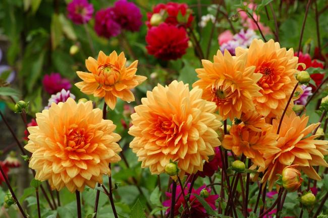 Pots of dahlias