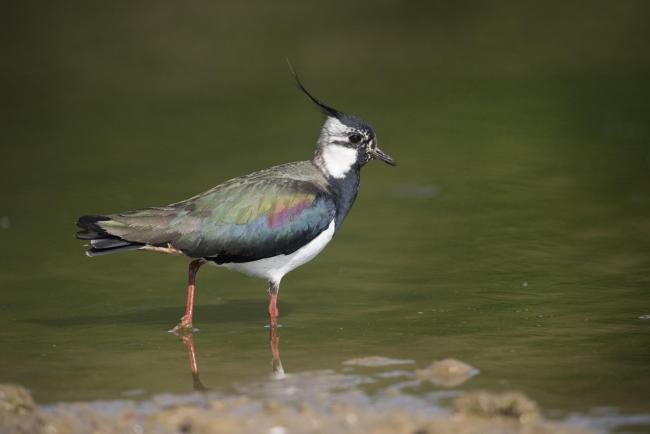 Lapwing numbers have fallen by 55 per cent.