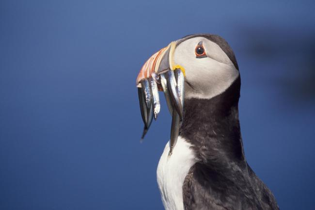 Puffins need a healthy supply of sand eels to survive.