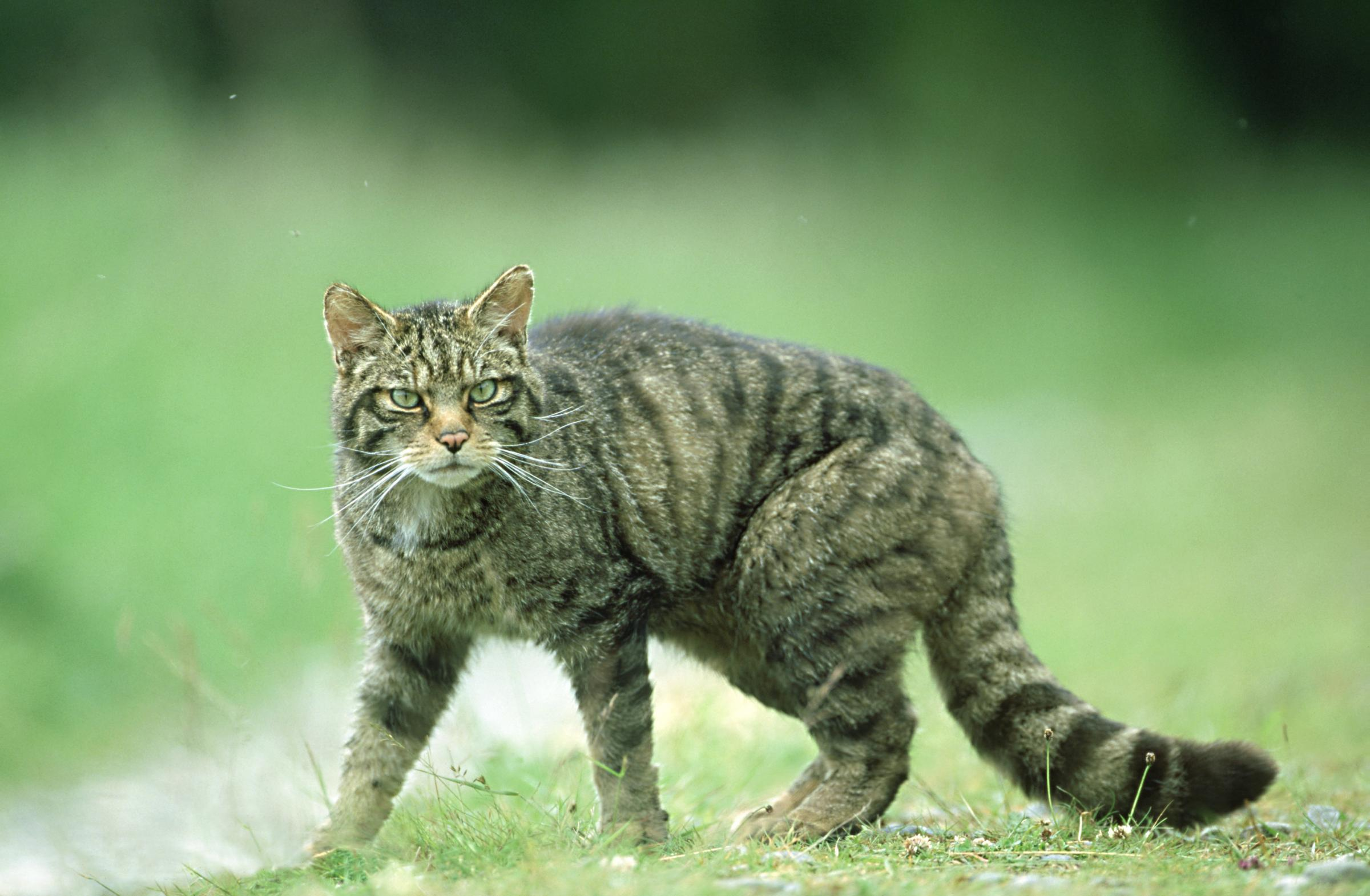 Hope for Scotland's wildcats