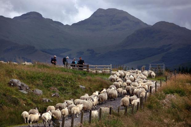 Walkers wait for sheep to pass on part of the West Highland Way on July 28, 2009 in Tyndrum. (Photo by Jeff J Mitchell/Getty Images).