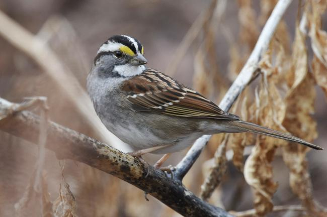 Photo of a white throated sparrow: Andy Reago and Chrissy McClarren/Flickr