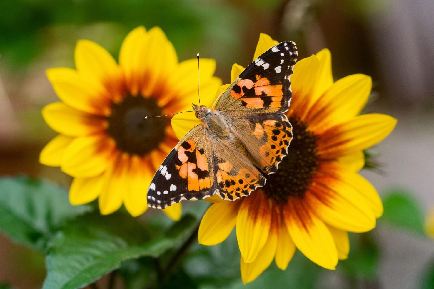Butterflies suffer 70% decline in numbers in Scotland