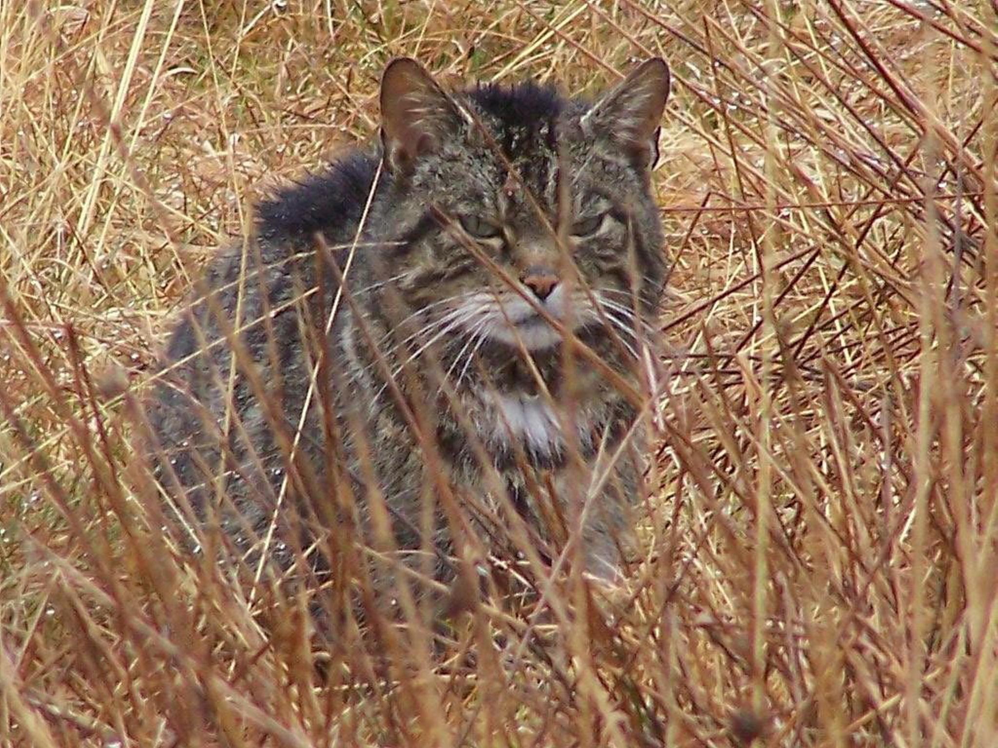 WATCH: Young kitten 'proof' wildcats still breeding