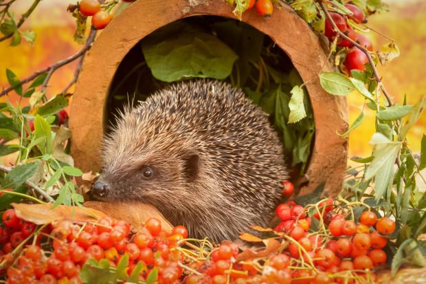 HeraldScotland: A hedgehog in autumn. Picture: iStock/PA
