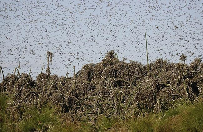 In this undated photo provided by the Food and Agriculture of the United Nations (FAO) on Friday, Sept. 4, 2020, locusts swarm near Gaborone, Botswana. FAO is working with the Southern African Development Community (SADC) and the International Red Locust