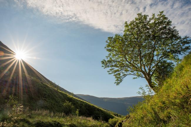 The once lone rowan, dubbed The Survivor, near Moffat is now surrounded by emerging native woodland.