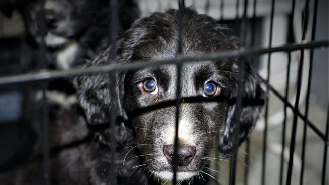 Puppy farm increase during pandemic prompts campaign amid fears Christmas will fuel demand