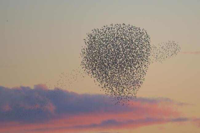Stunning starling murmuration filmed in Scotland as they swoop to avoid falcon's attack