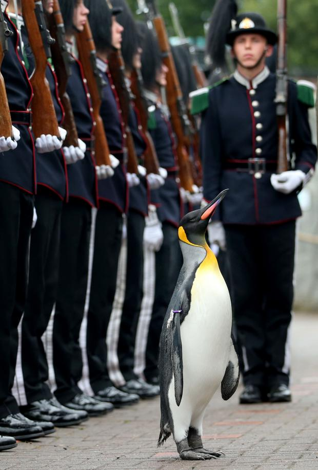 HeraldScotland: The King of Norway's Guard parade for inspection by their mascot, king penguin Nils Olaf, at Edinburgh Zoo Picture: Jane Barlow/PA Wire