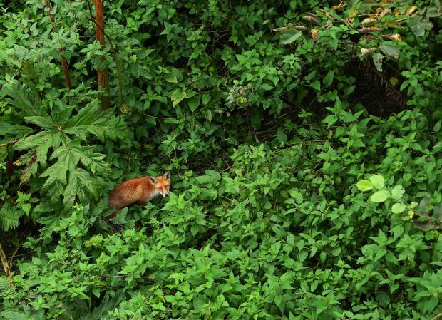 HeraldScotland: A fox prowling through the undergrowth next to the River Kelvin from the bridge on Kelvin Way, Glasgow...   Photograph by Colin Mearns.21 September 2017.