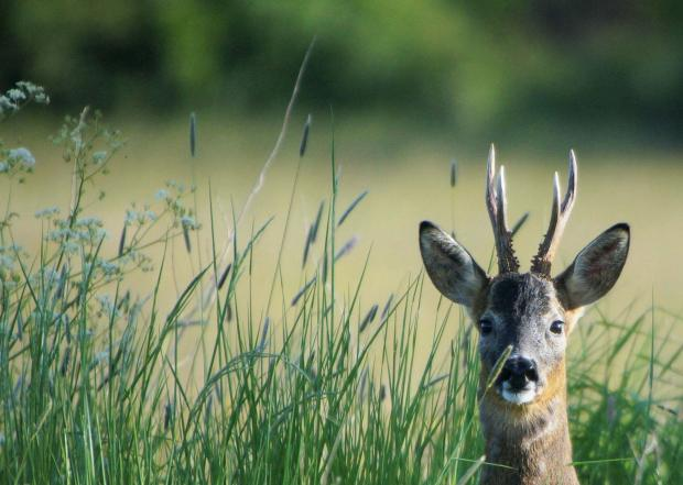 HeraldScotland: Male roe deer by Peter Hunter
