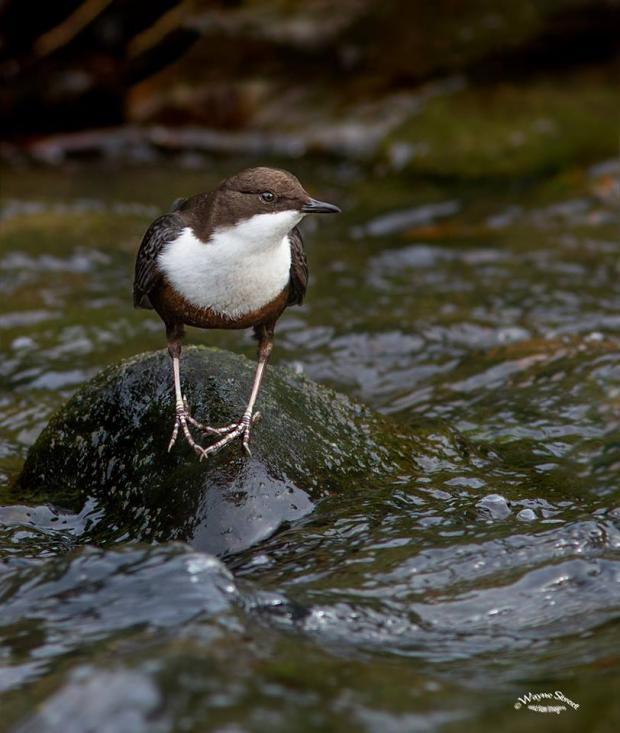 HeraldScotland: Wayne Street took this shot of Cinclus cinclus ... the white-throated dipper.