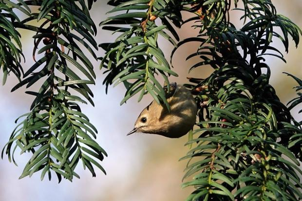 HeraldScotland: A Goldcrest, Britain's smallest bird by Janice Sutton.