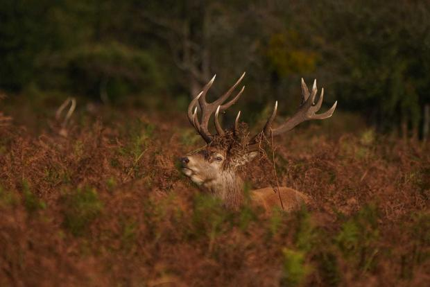 HeraldScotland: A red stag with a fancy hat by Stacy Woolhouse.