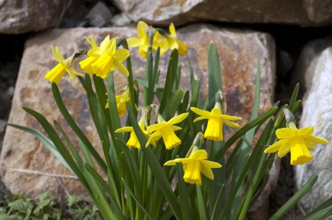 Narcissus 'T te- -t te'