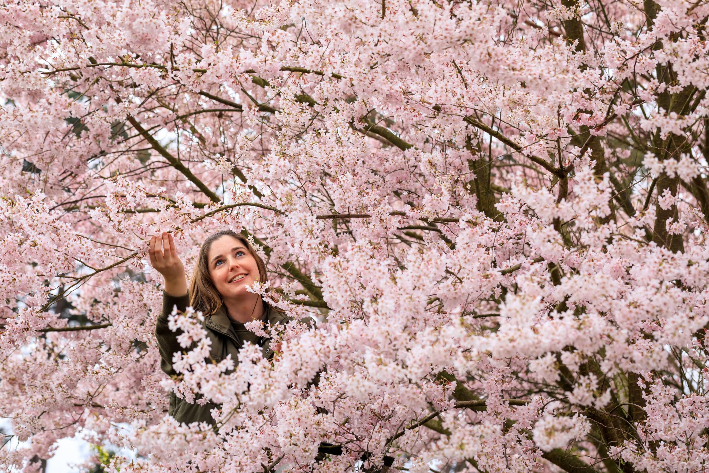 Gardening Celebrate Cherry Blossom Season By Planting A Cherry Tree Of Your Own Heraldscotland