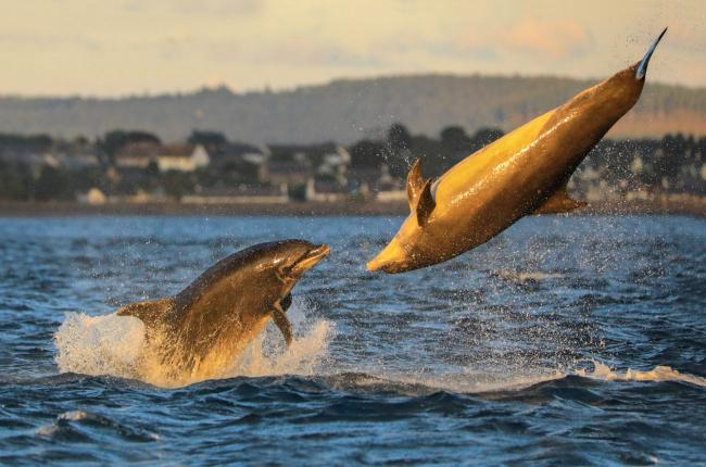 Two dolphins put on an acrobatic show at sunset at Chanonry Point on the Black Isle. Picture: Zaneta Blaszczyk/SWNS