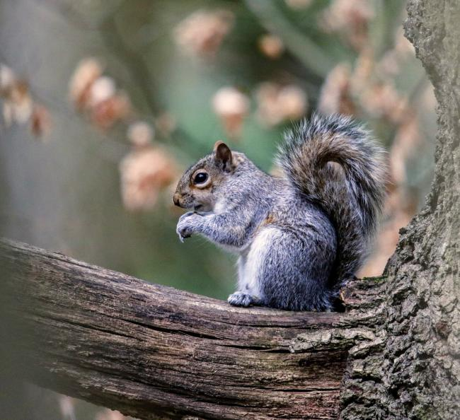 Grey squirrel. Picture: Matt Jones