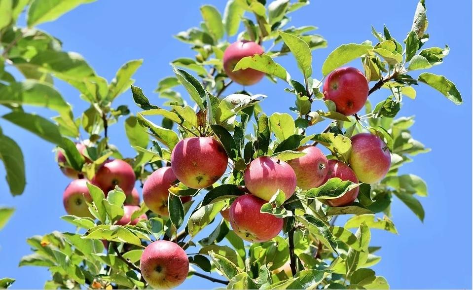 Berkebun bersama Dave Allan: Apel mata kita – ada pohon untuk setiap ruang dan tempat