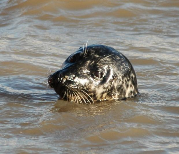 HeraldScotland: Grey Seal in Harwich harbour